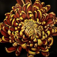 "36"" x 36"" Chrysanthemum"